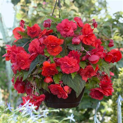 Fragrant Bedding Plants - begonia odorata red longfield gardens