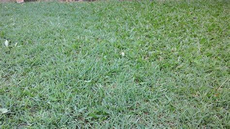 blue couch turf brisbane identification help me kill this grass gardening