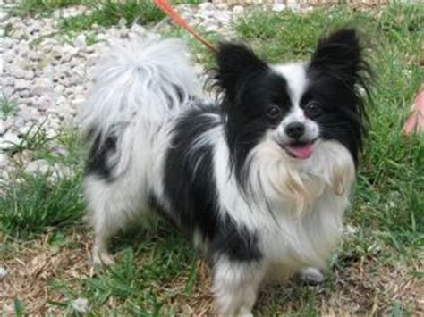 papillon puppies for sale in florida papillon puppies in florida