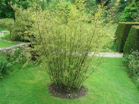 Planting Bamboo In Planters by Top Tips On How To Grow Bamboo In The Garden Garden Pics
