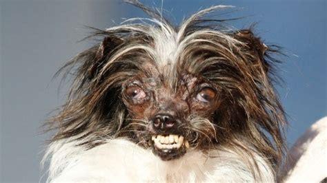 il est laid le bidet d 233 couvrez peanut le nouveau chien le plus laid du monde
