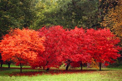 maple tree pros and cons 149 best images about garden trees on