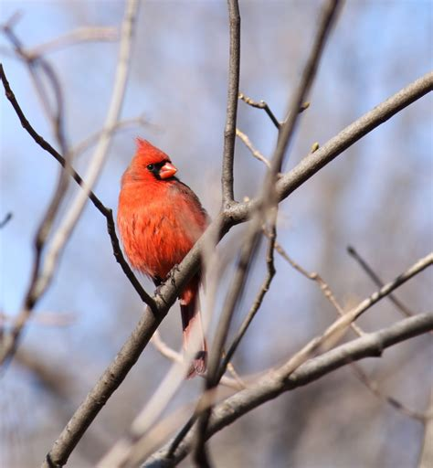how to attract cardinals to your yard backyard chirper blog