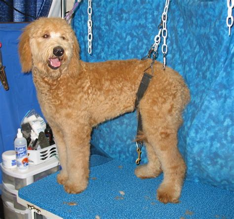 how to cut a goldendoodles hair the gallery for gt goldendoodle teddy bear cut