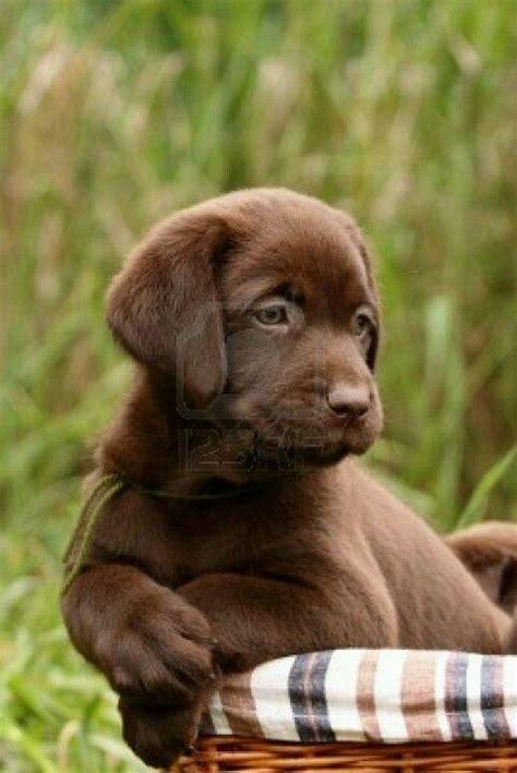 brown lab puppies 25 best ideas about chocolate labrador retriever on labrador puppies