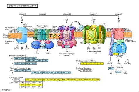 Mito A39 By Complete Selular ciencias de joseleg la importancia de la mitocondria en