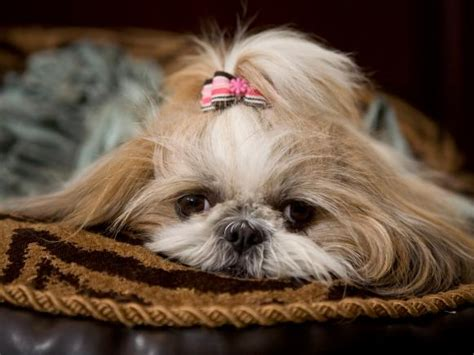 how to a shih tzu to lay bedroom secrets revealed hgtv