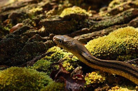 types of garden snakes garden snake garden xcyyxh