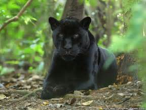 Is A Panther A Jaguar Black Panther The Of Animals