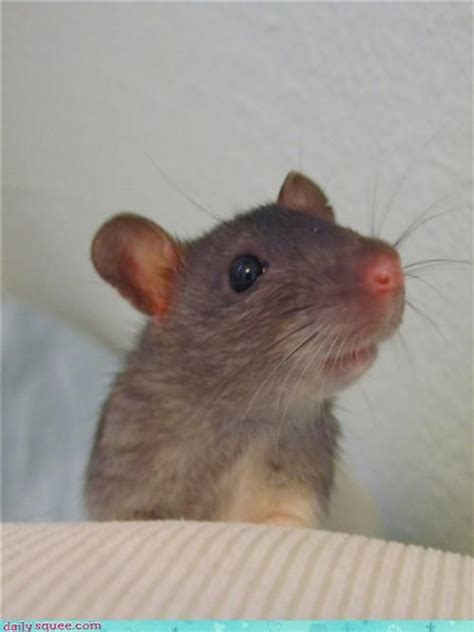 222 best images about rat 276 best images about pet rats on hamsters