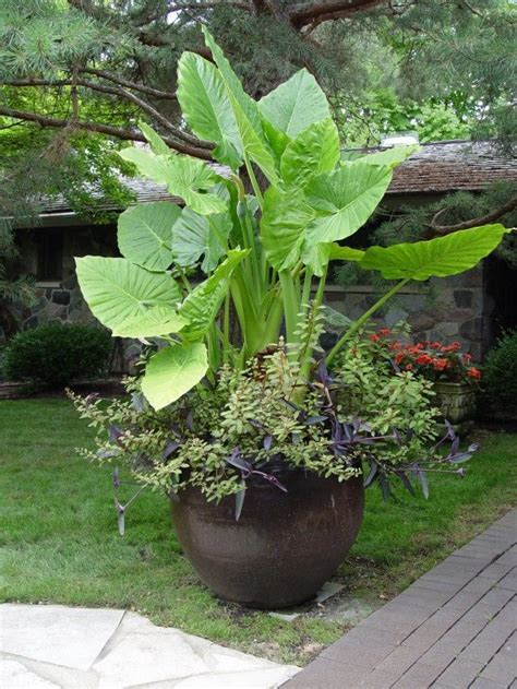 elephant ears in garden pot landscaping pinterest