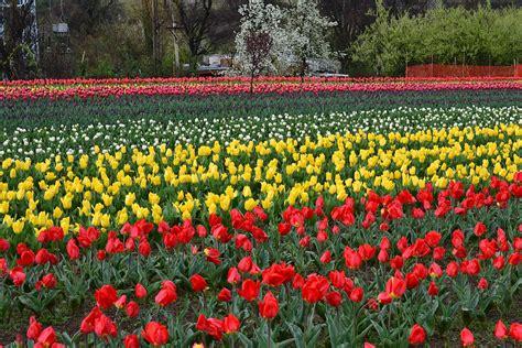 Indira Gandhi Memorial Tulip Garden Wikipedia Tulip Flower Garden In India