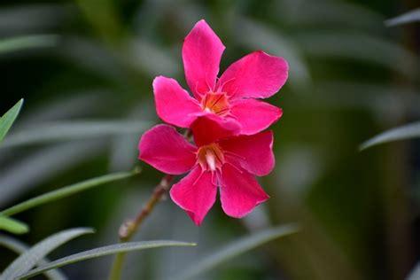 pianta grassa fiori fucsia le piante grasse con i fiori dai colori pi 249 belli