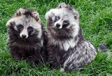 Raccoon Dogs: Fluffy Cuties With Identity Issues