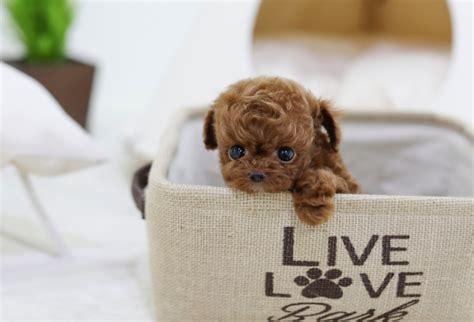 itsy puppy sold suno teacup poodle itsy puppy teacup microteacup puppies for