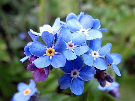 non ti scordar di me fiori non ti scordar di me il fiore dei nonnispaziopiante it