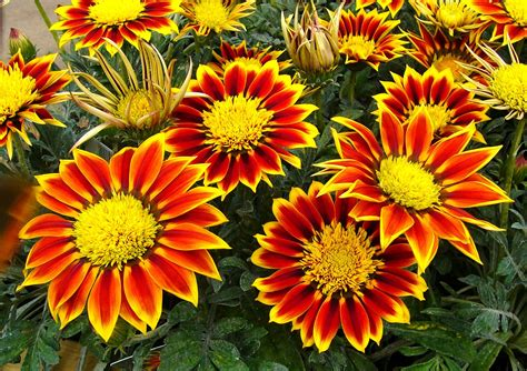 Garden Flowering Plants Hd Free Gazanias Flowers Garden Plant Wallpaper Webextensionline