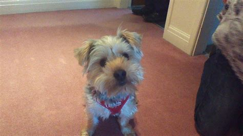 looking for a yorkie puppy terrier looking for a new home ripon pets4homes