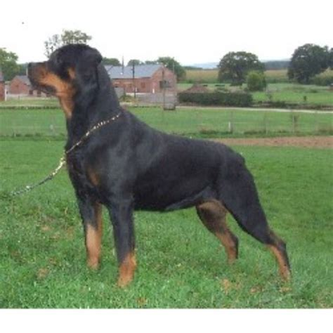 rottweiler breeders in uk rottweiler breeders and kennels in the uk breeds picture