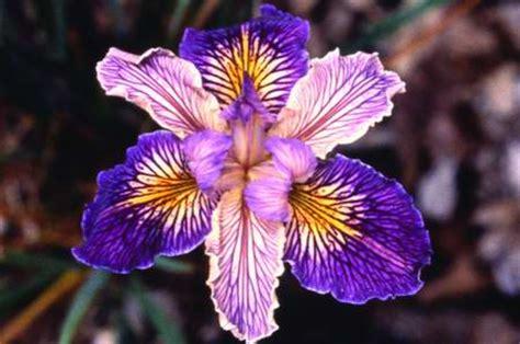 Essays On Iris by Iris Song Analysis Essay