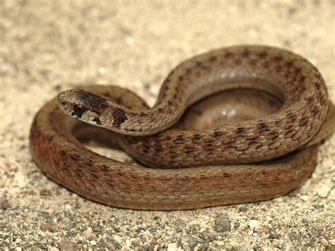 Garden Snake Brown 2434962429 40c20057e7 Z Jpg Zz 1
