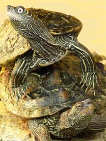 map turtles mississippi map turtle