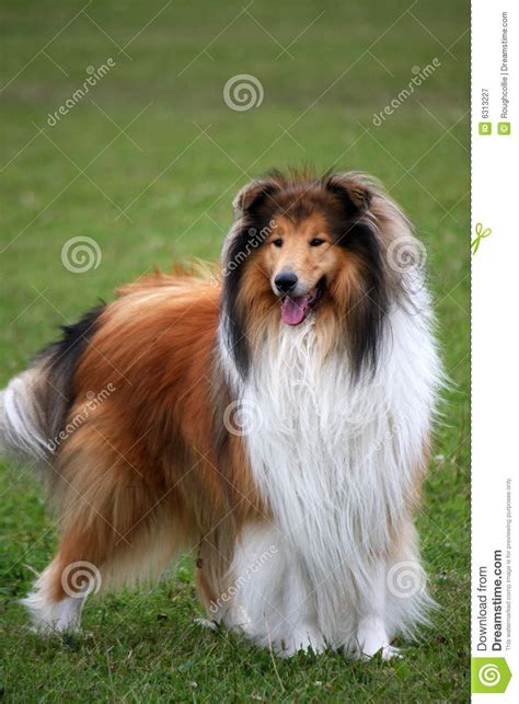 collie puppy pictures collie royalty free stock photography image 6313227
