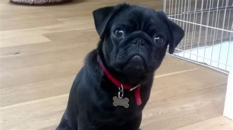 pug mascot stolen pug mascot found after itv appeal itv news