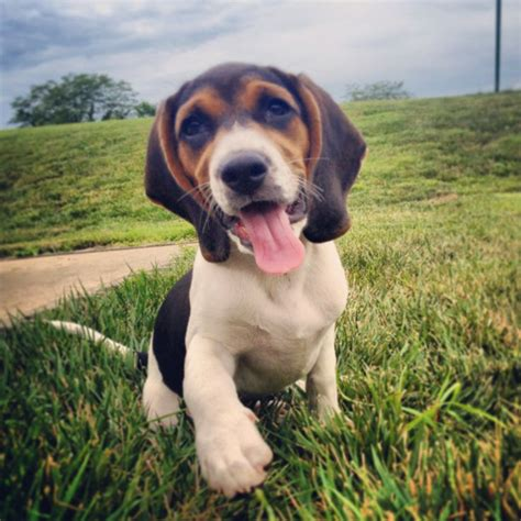blue beagle puppies blue tick beagle puppy family someday