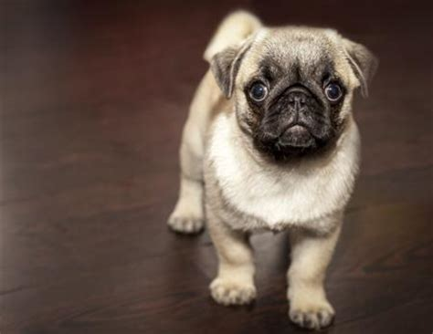 pugs that don t shed image result for small breeds that stay small and don t shed dogs