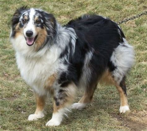 Do Australian Sheep Dogs Shed by 1000 Ideas About Australian Shepherd Shedding On