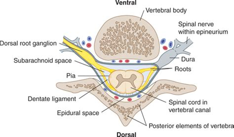 the vertebral column and other structures surrounding the
