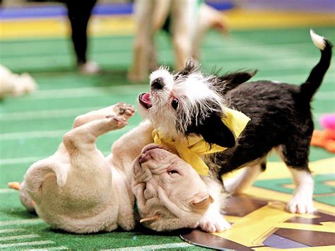 puppy bowl 2015 puppy bowl 2015 puppy bowl photos puppy bowl pictures