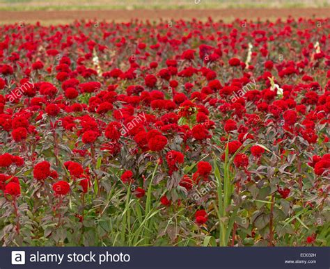 field with vast and stunning commercial crop of bright