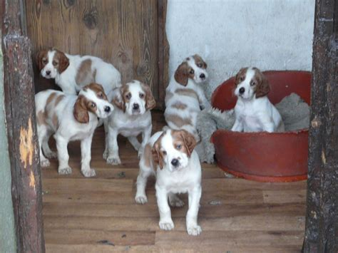 setter dogs for sale uk irish red white setter puppies for sale hebden bridge
