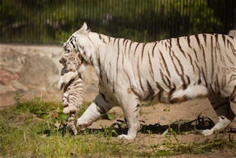White Tiger   White Bengal Tiger