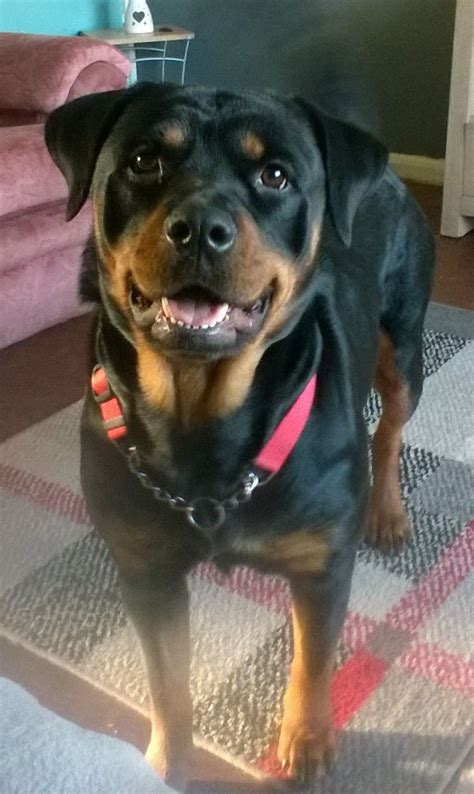 rottweiler puppies for sale manchester rottweiler for sale stockport greater manchester pets4homes
