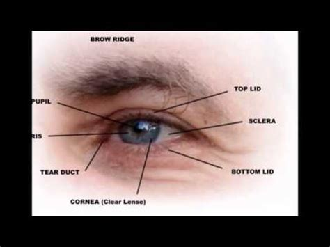 Part Of The outer parts of the eye