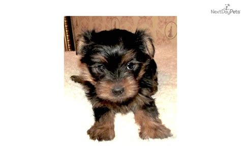 silky terrier puppies for sale silky terriers for sale silky terrier for sale for 600 near texoma