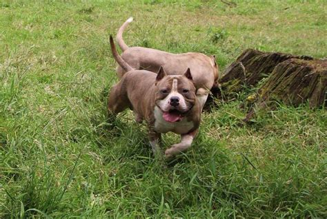bully for sale pin month american bully for sale on
