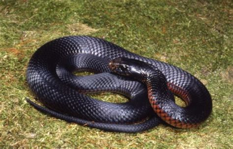 Black Snake by Black Snake Snakes
