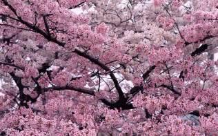 tree in bloom wallpapers hd wallpapers