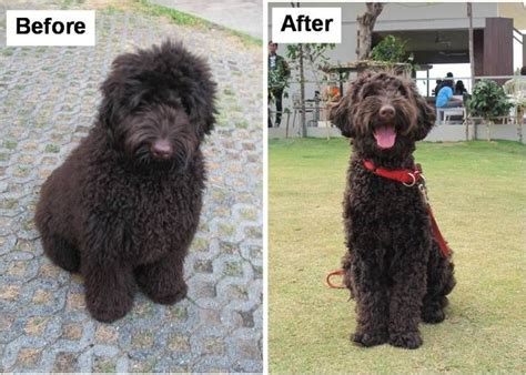 black goldendoodle haircuts post pics of different grooming styles doodlekisses com