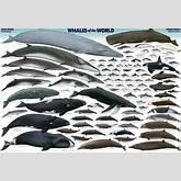 Les différentes espèces de baleines Baleine sous gravillon