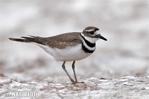 killdeer photos killdeer images nature wildlife pictures