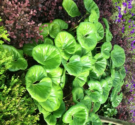 Patio Plants For Shade by Leopard Plant Striking Foliage For The Shade Garden