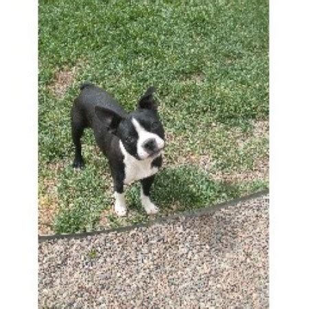small puppies for sale in albuquerque paws in the valley boston terrier breeder in tome new mexico listing id 14806