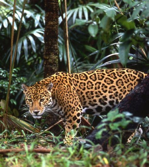 costa rica jaguar 1151 best images about beautiful cats on
