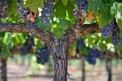 Lovely Mountain View Home And Garden #2: Grapes-on-the-vine-600x399.jpg