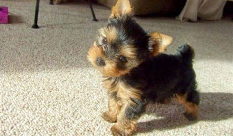 teacup yorkie how much do they cost dogluvas all things